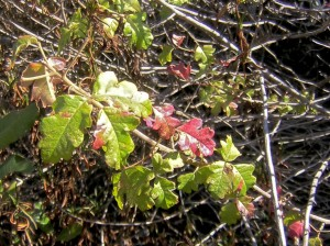 Poison Oak in the middle red phase